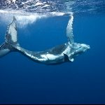 Whale Watching and Swimming Tour in Tonga