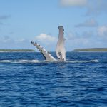 Whale Swimming Tour in Tonga