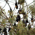 Tonga Bats