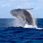 Whale Watching Tour in Tonga